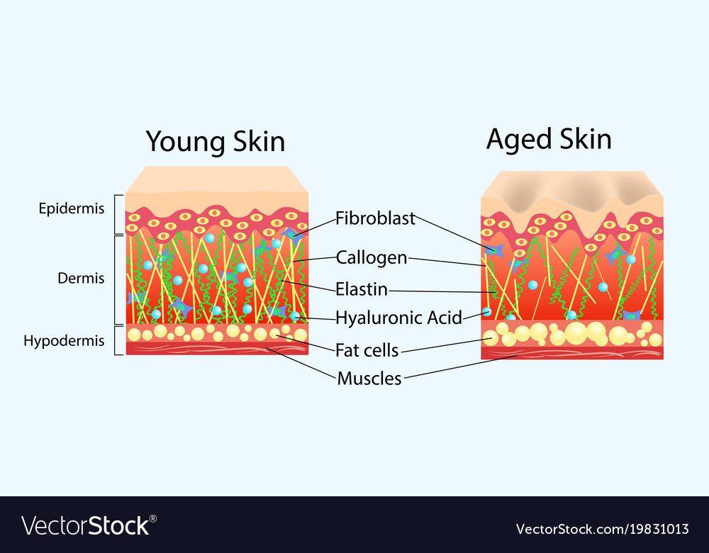 doorsnede huid